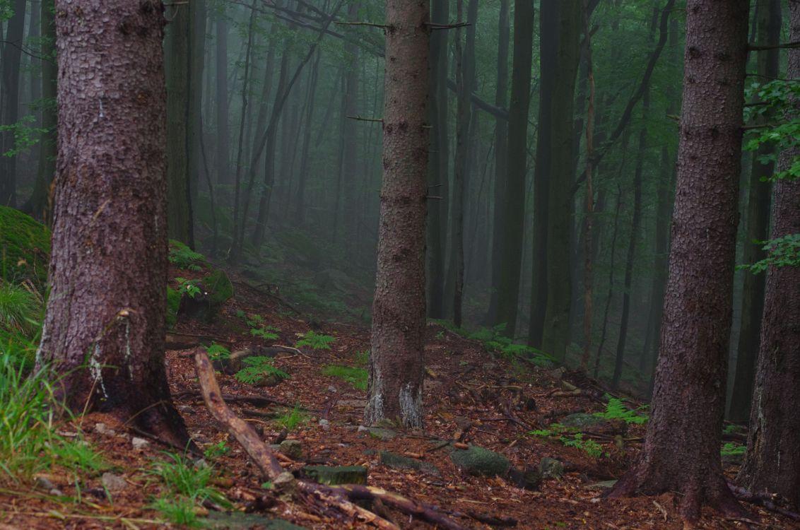 Обои лесистая местность, дерево, лес, экосистема, ель еловый лес в разрешении 4928x3264