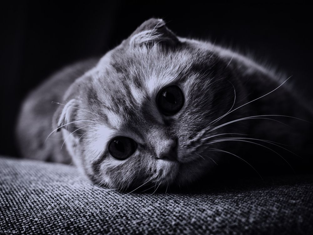картинки на телефон котята вислоухие ладно, если сорт