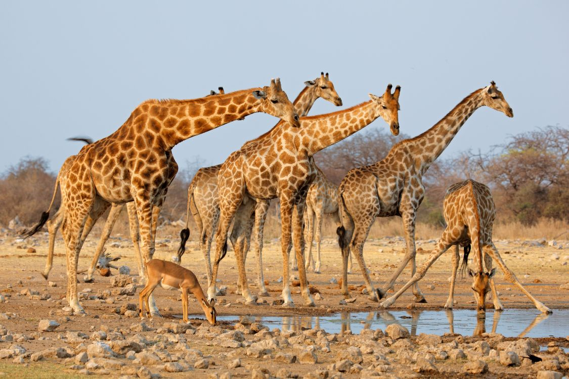 Фото жирафа в природе